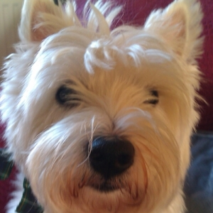 Angus the Westie from Boston