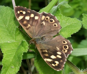 We think it's a Grizzled Skipper