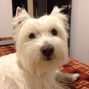 El pap de Westie who lives just north of Mexico City