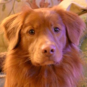 Teddy the Toller in County Durham
