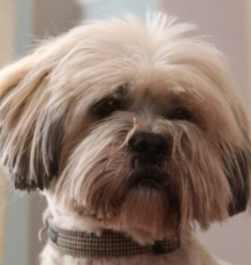Tibs the Lhasa