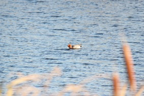 A Wigeon
