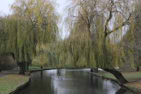 Fabulous old willows