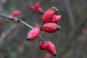 The berries are dying now so soon it'll be time to help the birds in your gardens