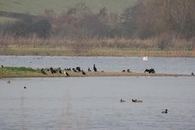Fabulous colony of cormorants