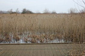Marigold Pond