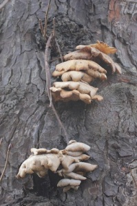 Fungi on the trees