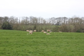 Our first encounter with many sheep today...