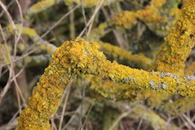 Plenty of lichen on the wood in the hedges
