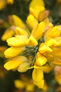 Gorse bushes in full bloom