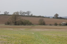 We must have disturbed about 10 pairs of skylarks in this field who took to the air singing at the top of their voices
