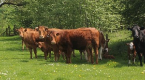 Beautiful, but lots of calves so beware!!