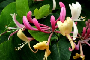 Sweet heady honeysuckle