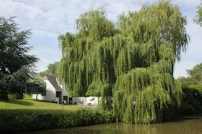 Stunning willow in the garden
