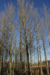 Beautiful winter birches