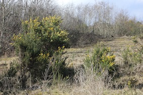 The gorse is just starting to come out