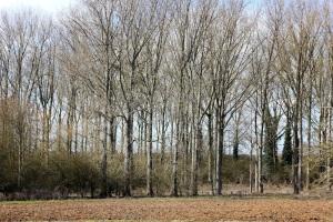 Nice birches